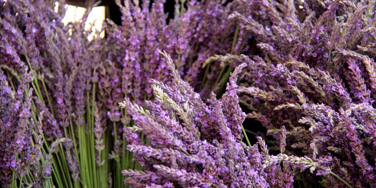 Provence Lavender #Provence #Lavender