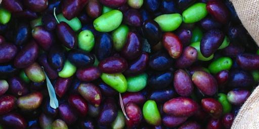 Fall Olives Season Provence
