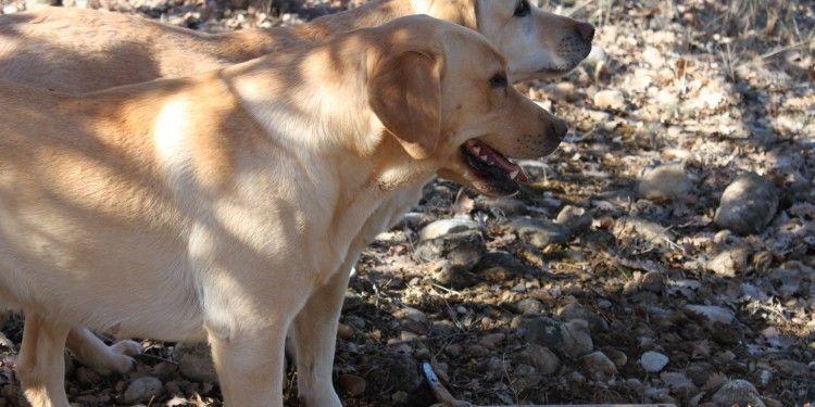 Truffle Dogs #Provence #Truffles
