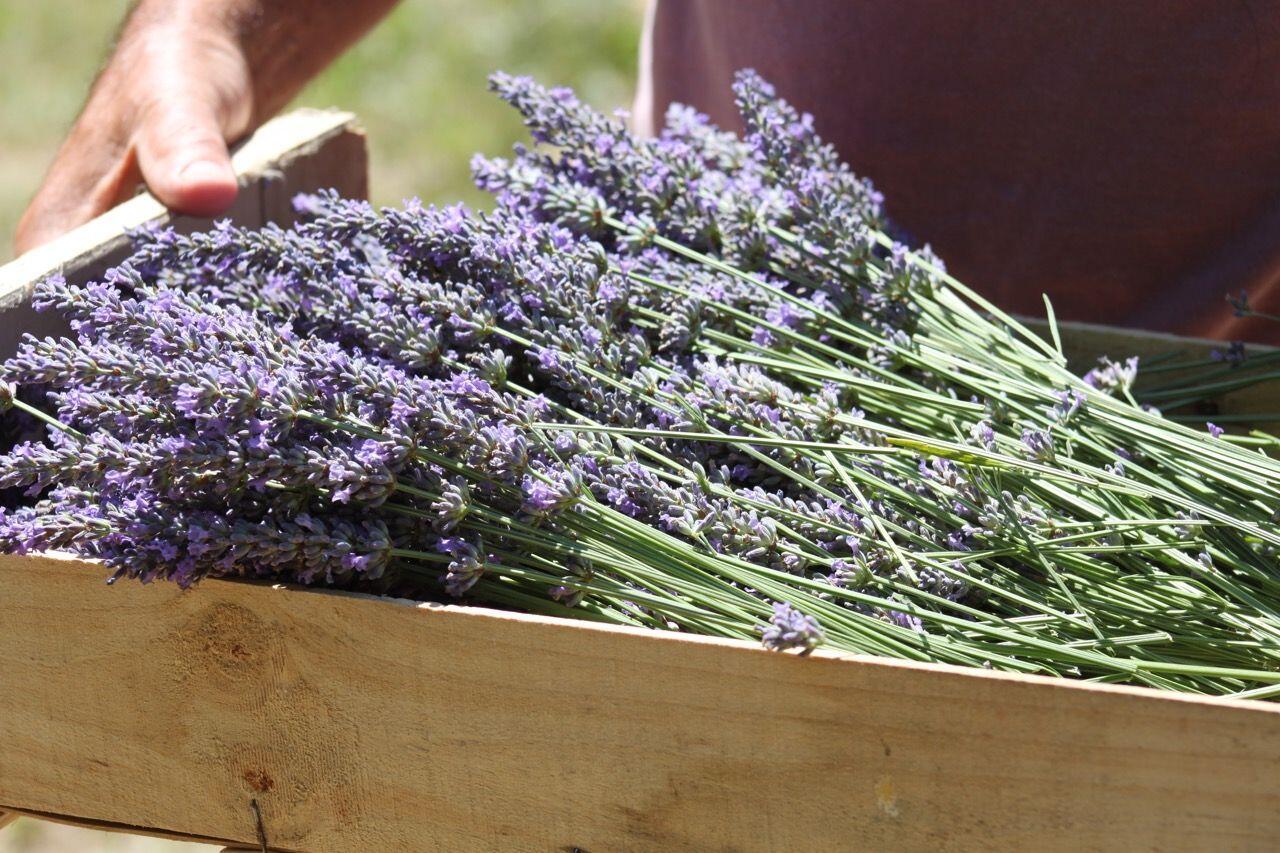 Lavender in Provence