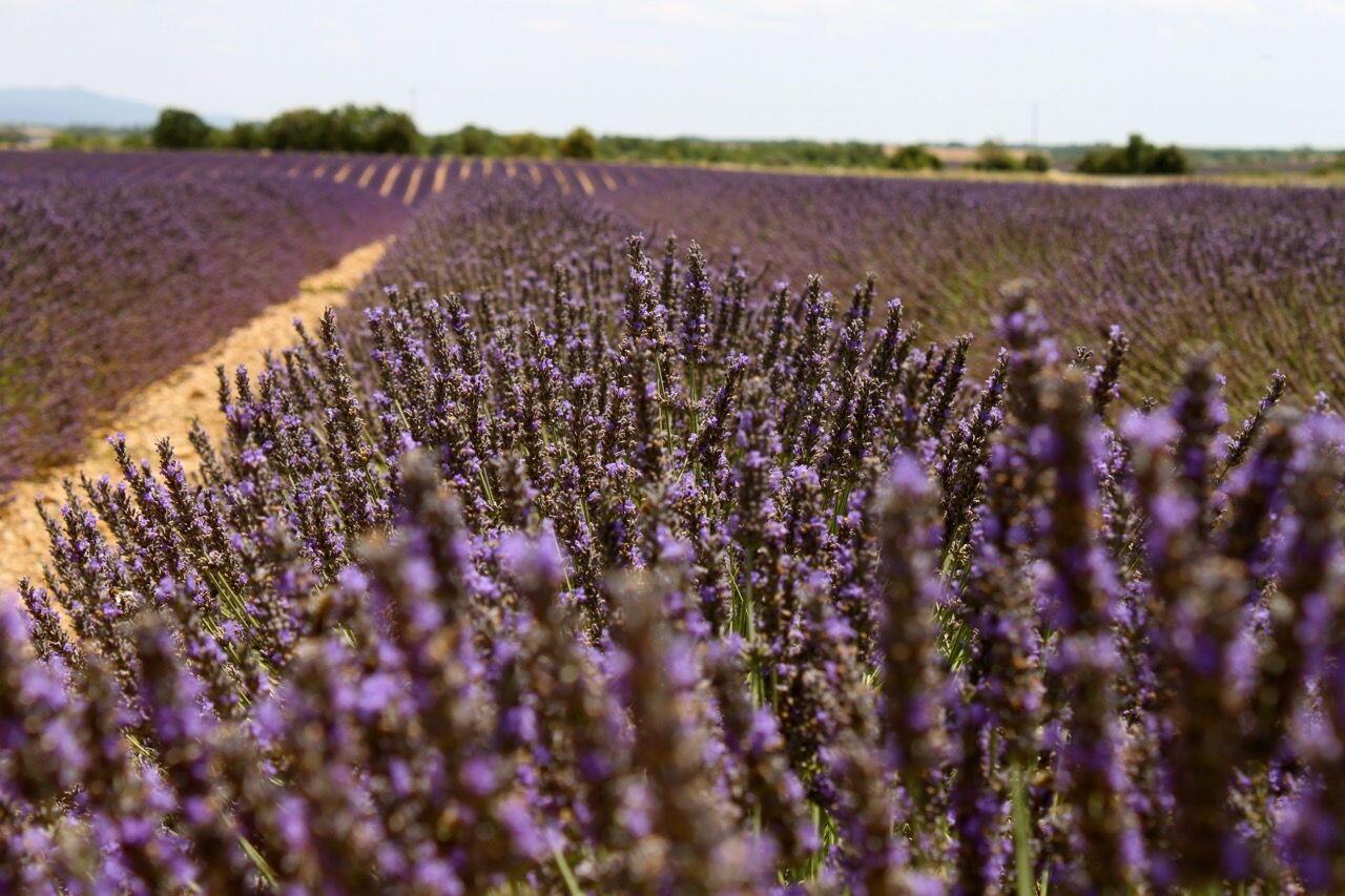 Lavender Fields Provence Valensole