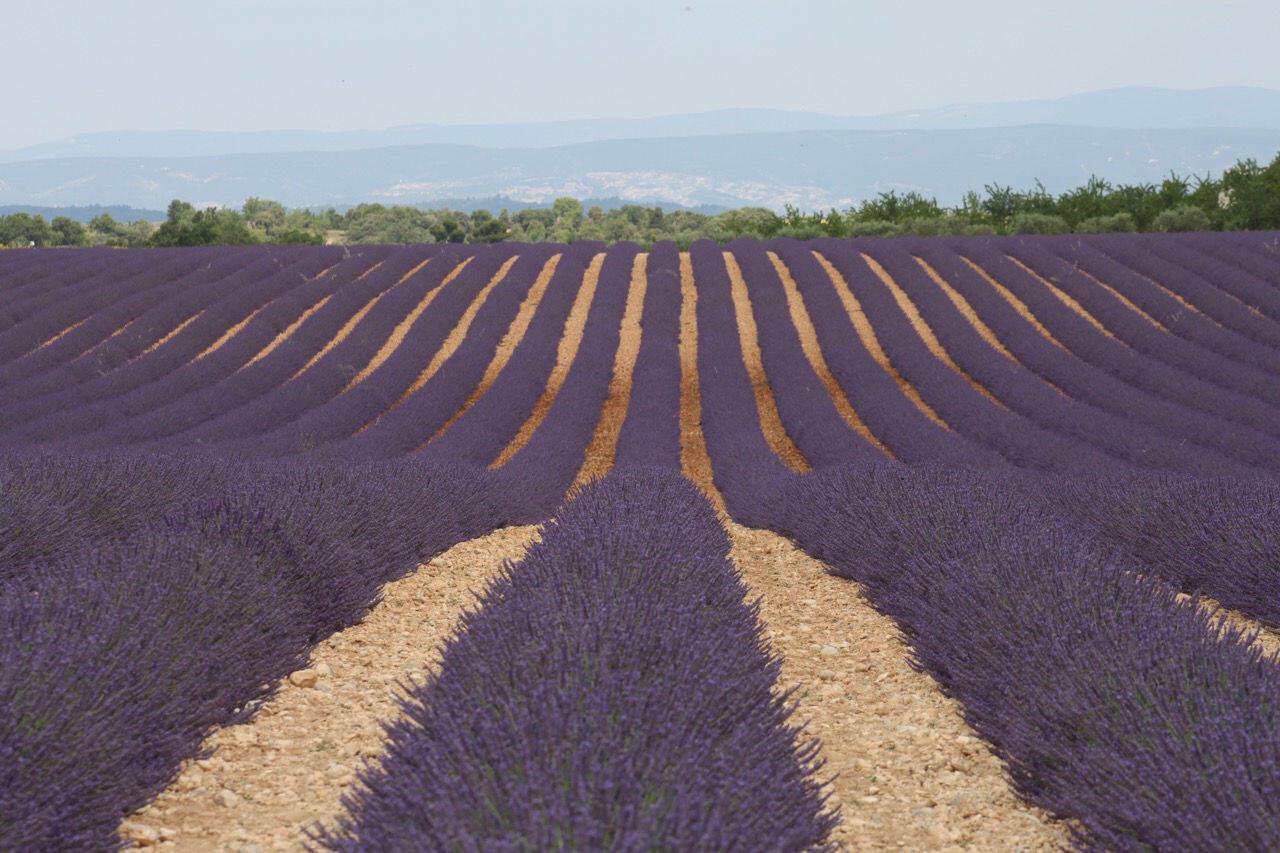 Lavender in #Provence #Lavender @PerfProvence