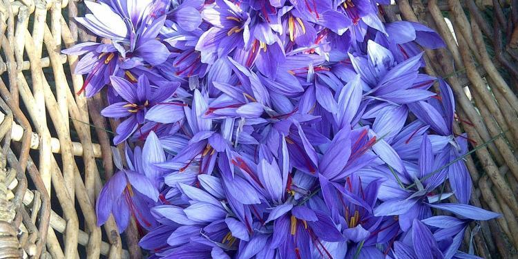 Local saffron farm @LizGabayMW