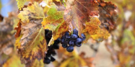 Grape vines in fall