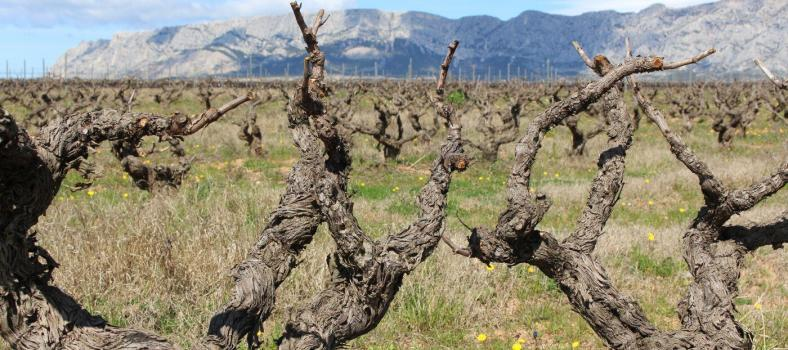 Old vines with Ste Victoire in the background @LizGabayMW #WinesofProvence