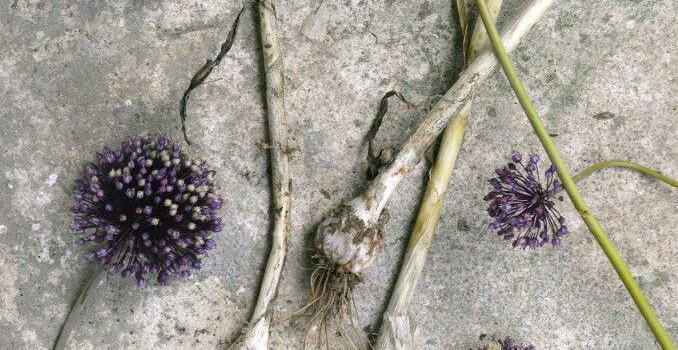 The Curious Forager: Wild Leeks and Rocket