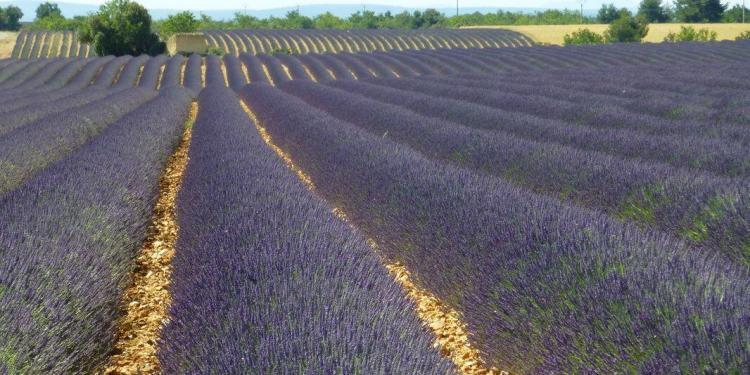 Discover Provence Lavender @AboutProvence