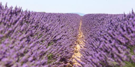 Lavender fields #Provence via @ProvenceTayls