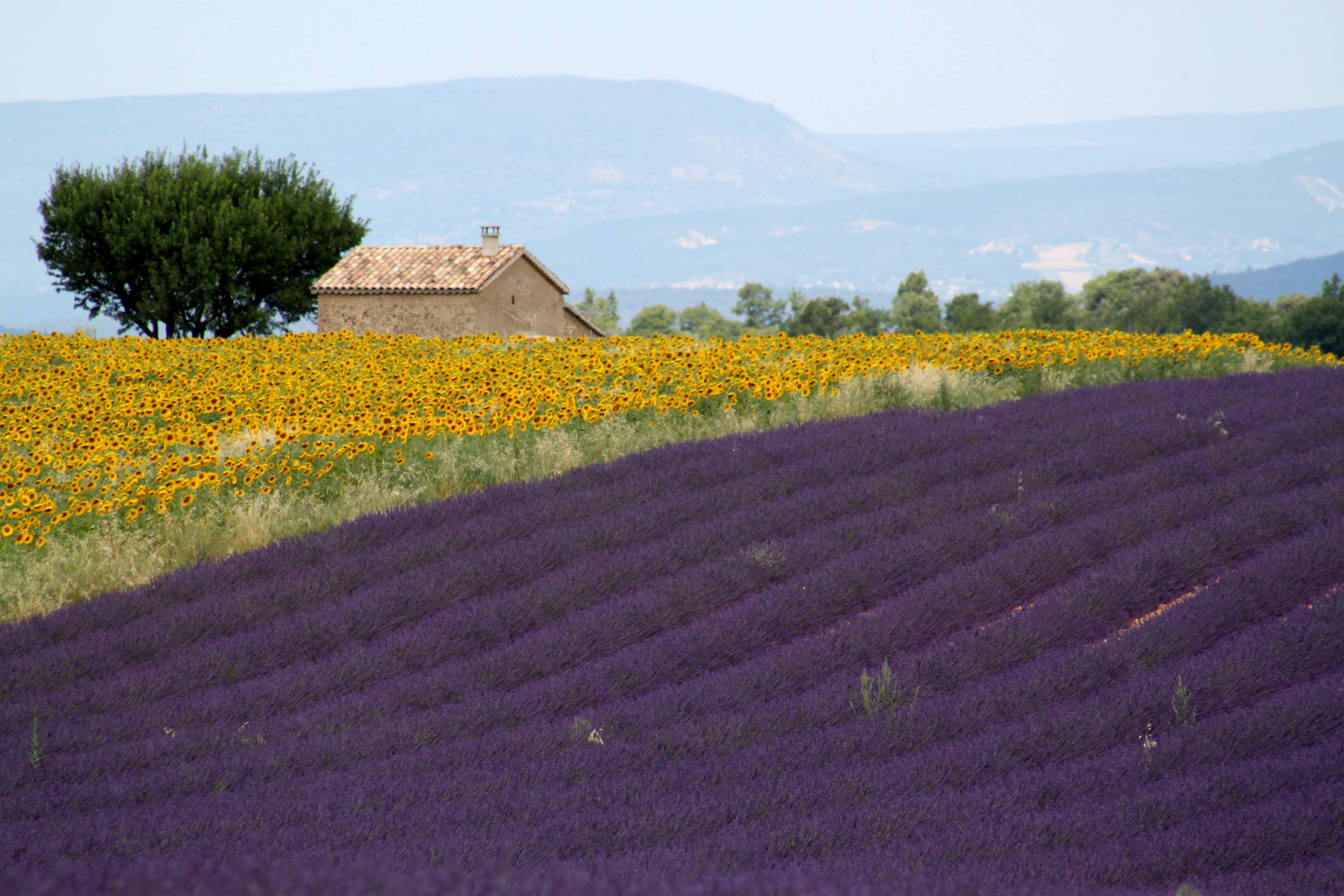 Lavender Fields Travel Provence Lavender