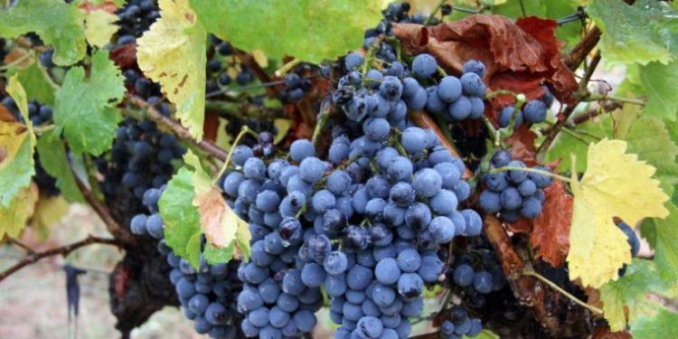 Mirabeau en Provence grape harvest #Provence #Wines @MirabeauWine