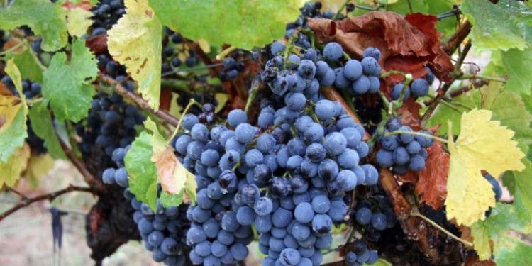 Mirabeau en Provence grape harvest #Provence #Wines @MirabeauWine