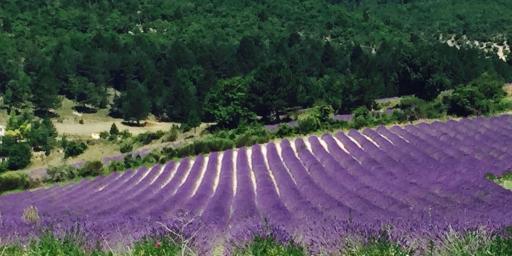 Lavender Mont Ventoux @ProvenceTayls