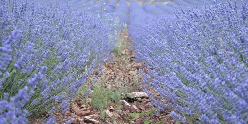 Summer Lavender Village Festivals @CuriousProvence