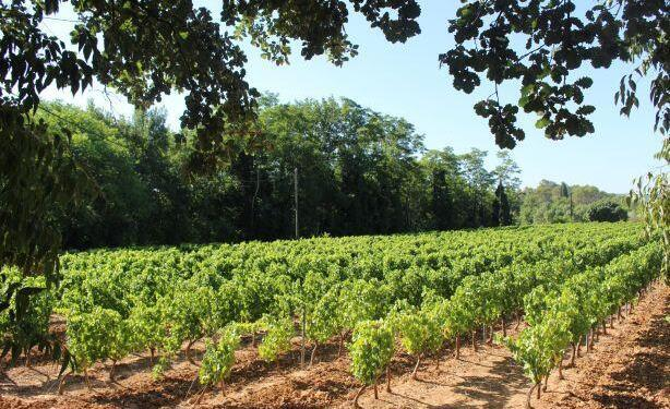 Six Vineyards of St Antonin du Var @LizGabayMW #WinesofProvence