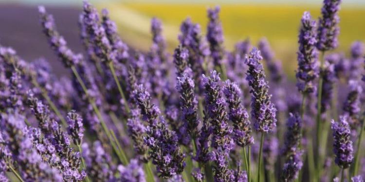 lavender with sunflower field background #lavender @MirabeauWine