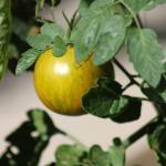Side Dish Gratins Tomatoes Provence
