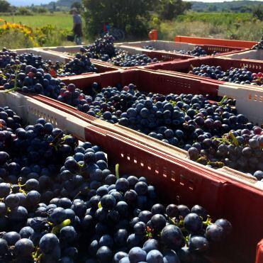 Grenache grapes in the vineyard #WinesofProvence @bfblogger2015