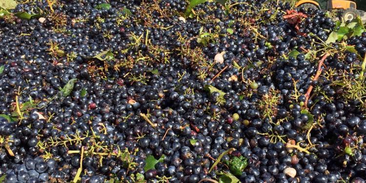 2015 Vendage is under way in the Luberon #WinesofProvence @ProvenceTayls