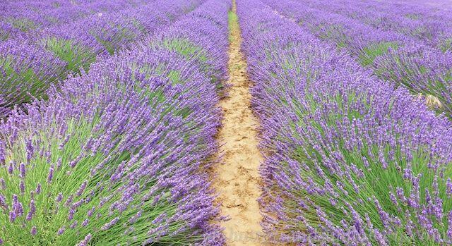 Bonnieux Lavender # Provence @ShutrsSunflowrs