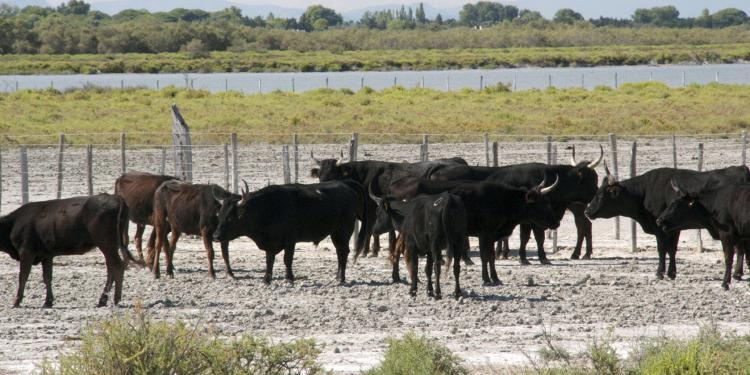 Cowboy Culture Bulls Taureaux Camargue Provence @PerfProvence