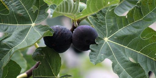 Figs Provence Recipes