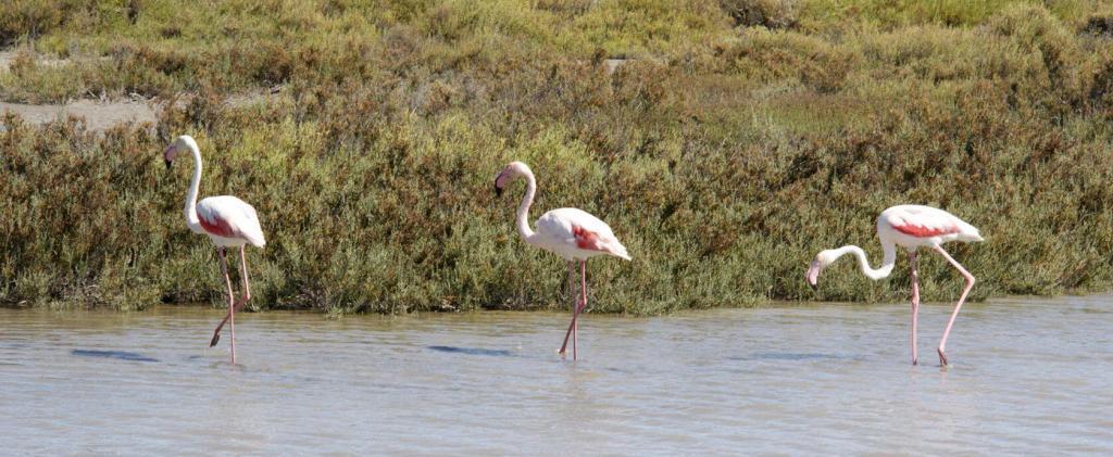 Pink Flamingos #Camargue #Provence @PerfProvence