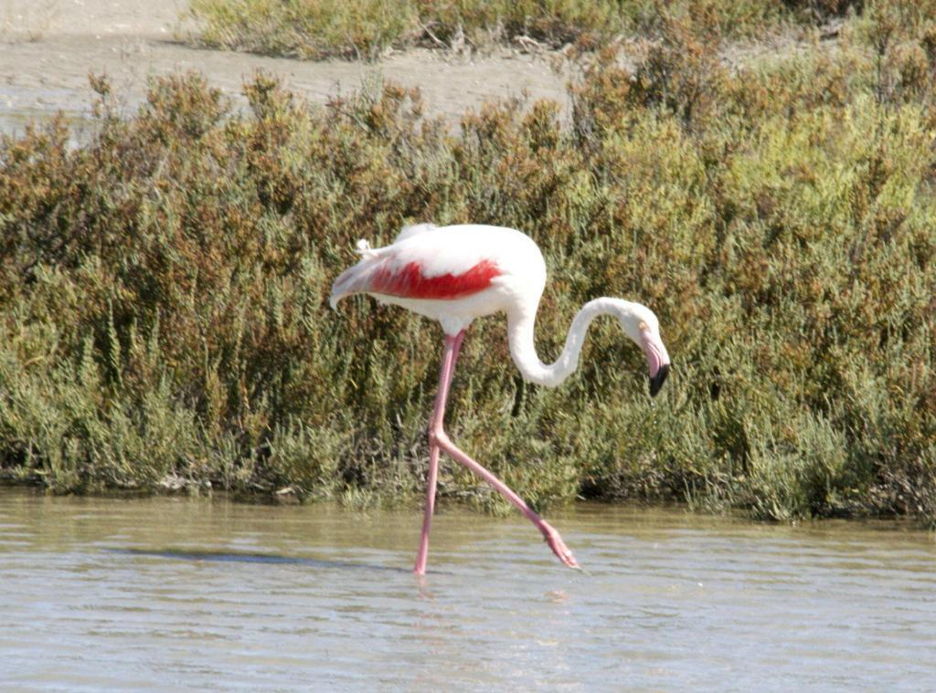Pink Flamingos Camargue Provence @PerfProvence