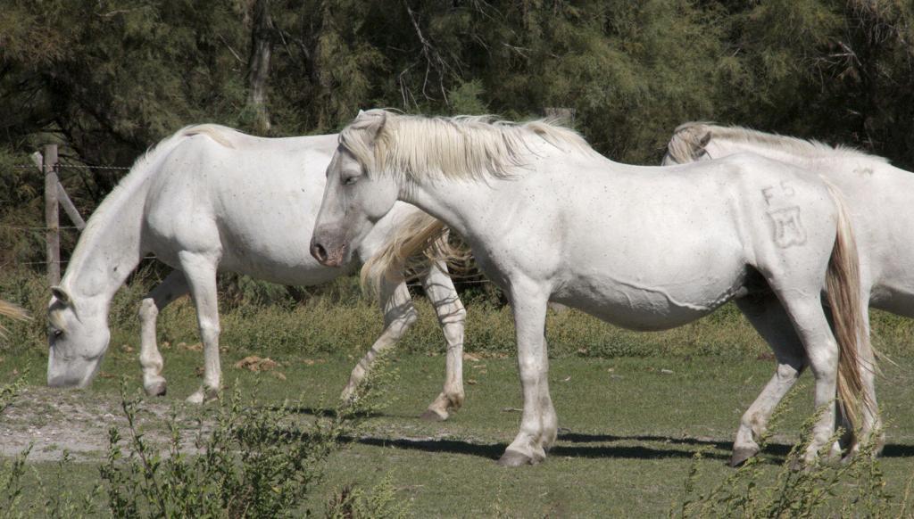 Manade Horses #Camargue #Provence @PerfProvence