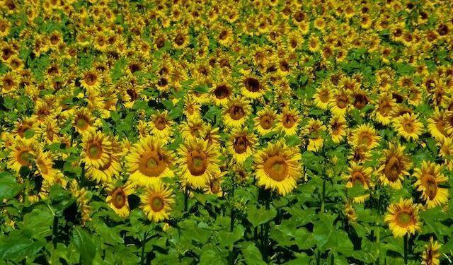 Sunflowers Provencal Landscape @ShutrsSunflowrs