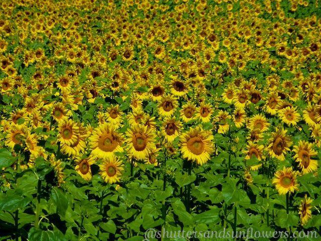 Sunflowers of #Provence @ShutrsSunflowrs