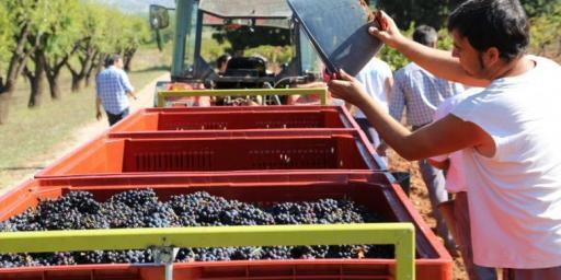 Harvesting Grapes #WinesofProvence by @MirabeauWine