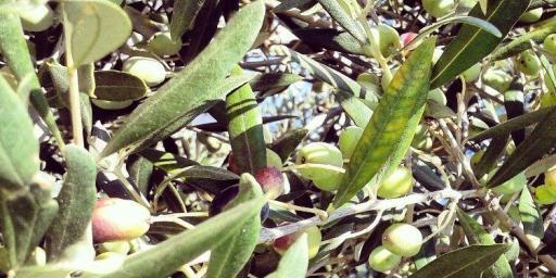 Olive Harvest on the #FrenchRiviera #Olives @RivieraGrape