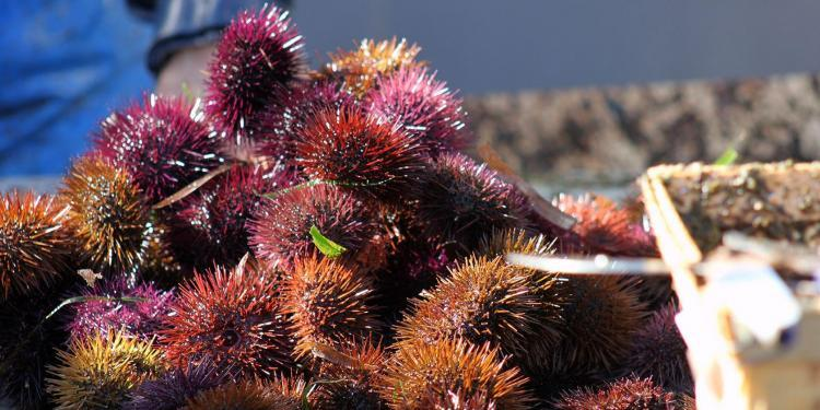 Sea Urchins mois de l'oursin Carry le Rouet Cote Bleue @PerfProvence