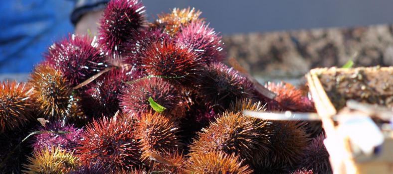 Sea Urchins mois de l'oursin Carry le Rouet Cote Bleue @PerfProvence