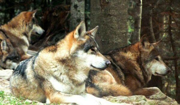 wolves at Alpha Parc near Nice @FibiTee