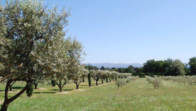 Olive Grove #Provence @Provence_Search