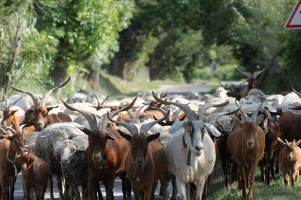 Transhumance #ExploreProvence #Traditions @PerfProvence