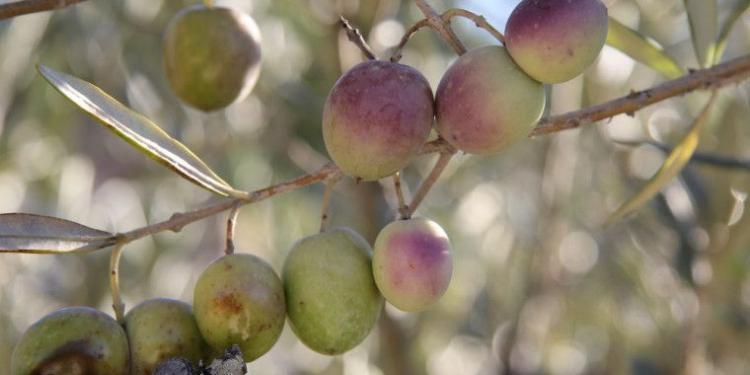 @MirabeauWine Olives trees #Provence