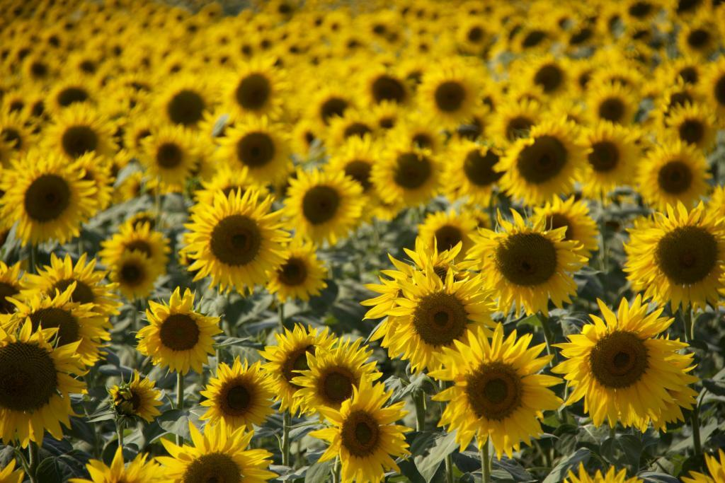 Sunflowers in the #Vaucluse @PerfProvence