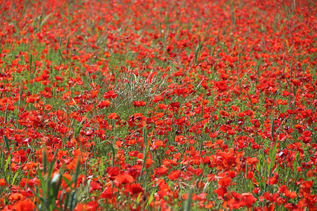 Poppies In Provence @TessaBaker