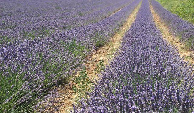 Lavender fields #Provence #VaucluseDreamer