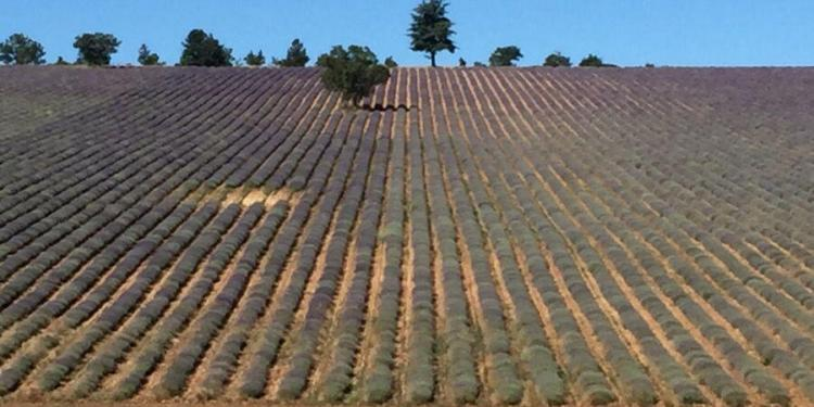 Lavender in Provence #Cycling @ProvenceTayls