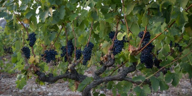 Grape harvest in Provence #WinesofProvence @JillBarth
