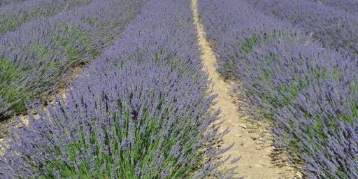 Lavender Fields Explore Provence