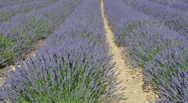 Lavender Fields #ExploreProvence @OurhouseinProvence