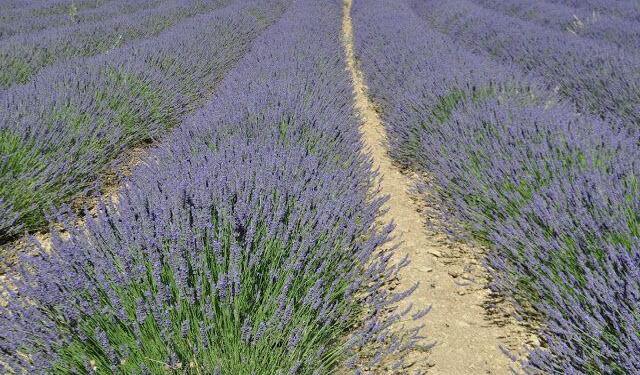 Lavender Fields Explore Provence