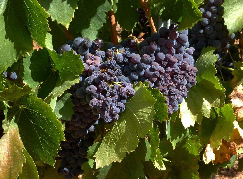 Provence Wine Grapes @perfprovence #TastesofProvence