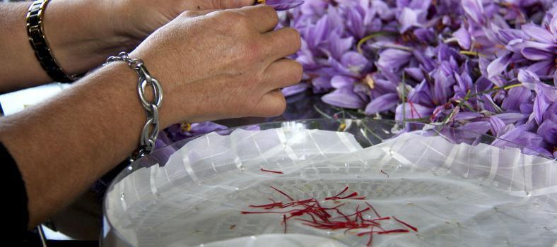 Saffron Harvest Provence Tastes Provence @PerfProvence