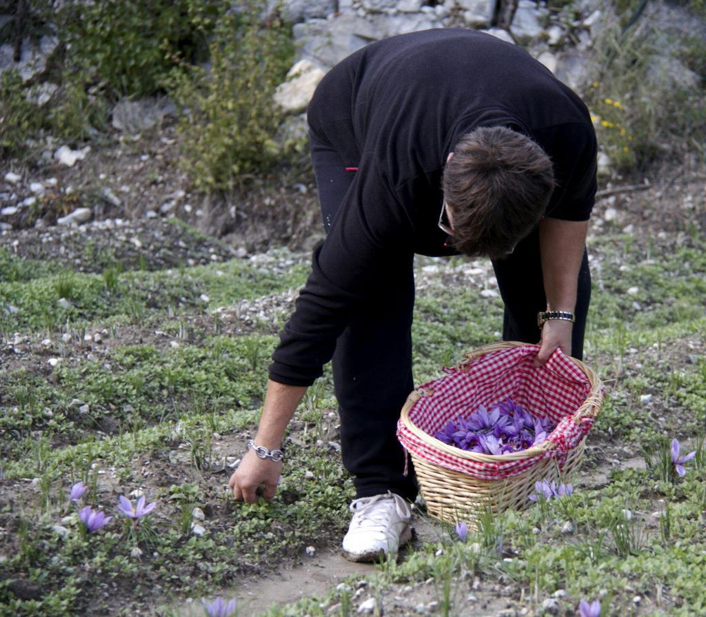Saffron Harvest Provence #TastesofProvence @PerfProvence