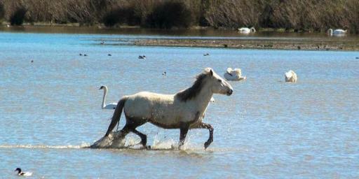 camargue-horse-in-sea @Margo_Lestz